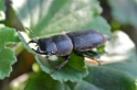 A young male stage beetle found in Saxony-Anhalt, Germany.