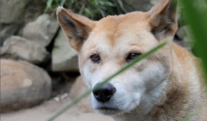 The colour of dingoes