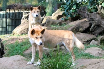 Dingoes at Featherdale Wildlife Park.