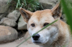 Dingoes are red-listed - but not in Australia.