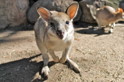 A playful wallaby.