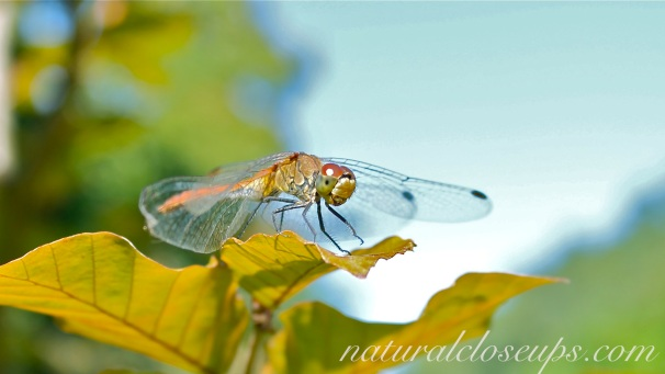 Wallpaper Dragon Fly