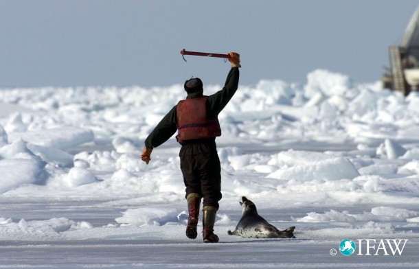 On the frozen ice of the Gulf of St. Lawrence, a sealer moves in to kill a seal pup with a hakapik - a spiked club.
