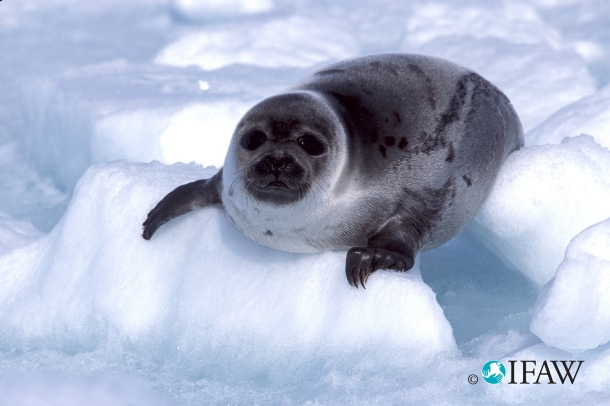 A beater harp seal pup on the ice in the Gulf of St. Lawrence. (Photo credit: IFAW)